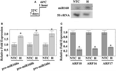Frontiers | MicroRNA160 Modulates Plant Development and Heat
