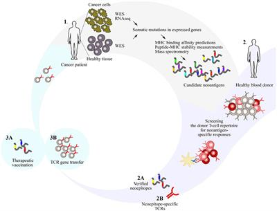 Frontiers The Potential Of Donor T Cell Repertoires In