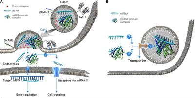 Frontiers | MicroRNA Exocytosis by Vesicle Fusion in
