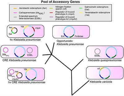 klebsiella pneumoniae toxine antiviral din papilomele