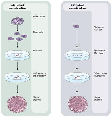 Frontiers Humans In A Dish The Potential Of Organoids In Modeling Immunity And Infectious Diseases Microbiology