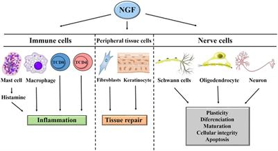 Frontiers | Nerve Growth Factor and Pathogenesis of Leprosy
