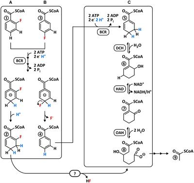 Frontiers | Promiscuous Defluorinating Enoyl-CoA Hydratases ...