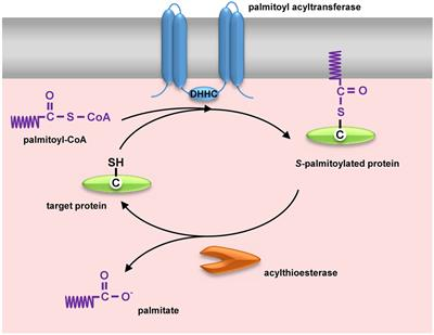 Frontiers | Protein Palmitoylation and Its Role in Bacterial