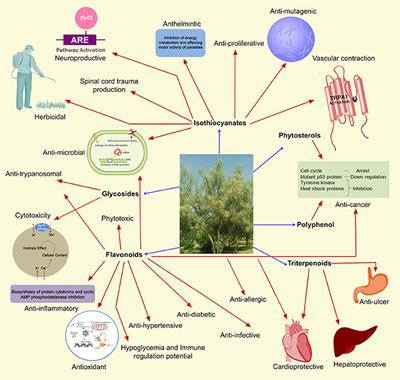 Frontiers | Traditional Uses, Pharmacological Efficacy, and