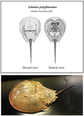 Frontiers | The Role of Horseshoe Crabs in the Biomedical Industry