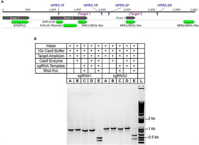 Frontiers | Transient Expression of CRISPR/Cas9 Machinery Targeting