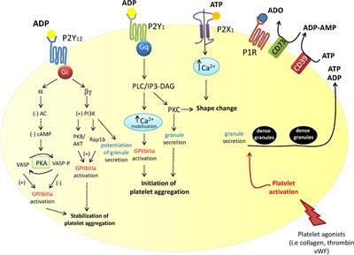 Types Of Email Accounts >> Frontiers | P2Y12 Receptors in Tumorigenesis and Metastasis | Pharmacology