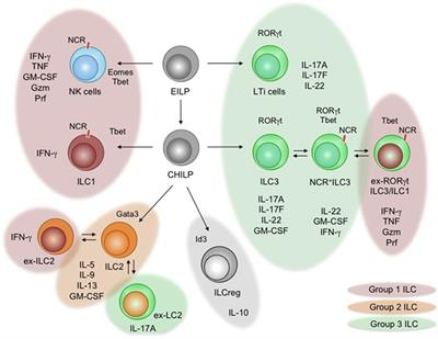 Frontiers | Cytokine Networks between Innate Lymphoid ...