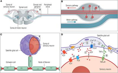 what are glial cells