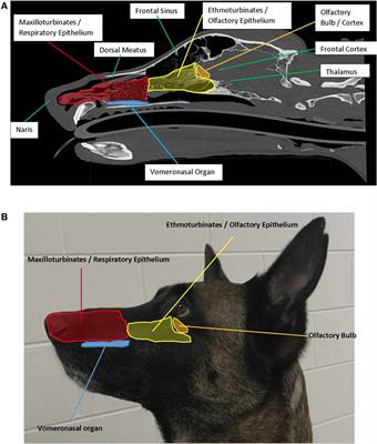 When the Nose Doesn't Know: Canine Olfactory Function Associated With Health, Management, and Potential Links to Microbiota
