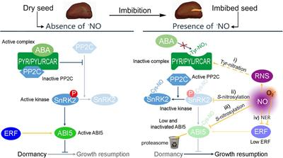 Frontiers | Nitric Oxide Enables Germination by a Four ...