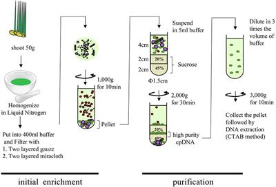 Frontiers Optimized Method Of Extracting Rice Chloroplast Dna For High Quality Plastome Resequencing And De Novo Assembly Plant Science
