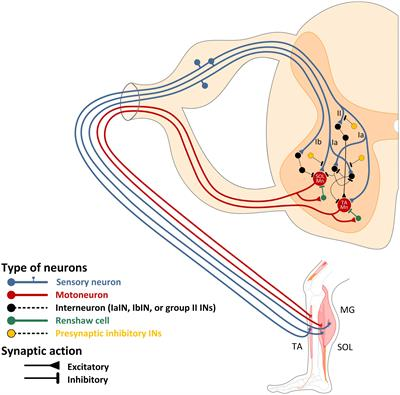 frontiers | spinal control of locomotion: individual neurons, their circuits  and functions | physiology