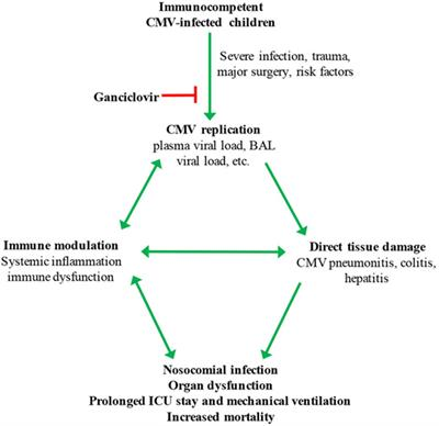 Frontiers | The Potential Harm of Cytomegalovirus Infection