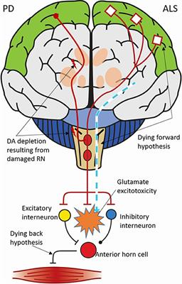 Frontiers | Serotonergic Dysfunction in Amyotrophic Lateral