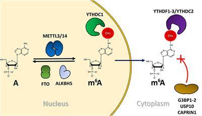 Frontiers Emerging Roles Of N6 Methyladenosine On Hiv 1