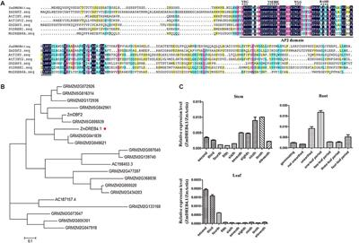 Frontiers | A DREB-Like Transcription Factor From Maize (Zea mays