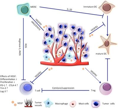Frontiers Targeting Vegf Vegfr To Modulate Antitumor