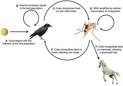Frontiers | The Immune Responses of the Animal Hosts of West