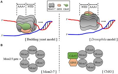 Frontiers | The Human Replicative Helicase, the CMG Complex