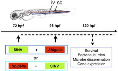 Frontiers | A Model of Superinfection of Virus-Infected