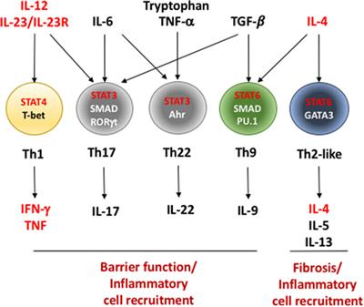 T Cell Differentiation and Function in Tissue Inflammation
