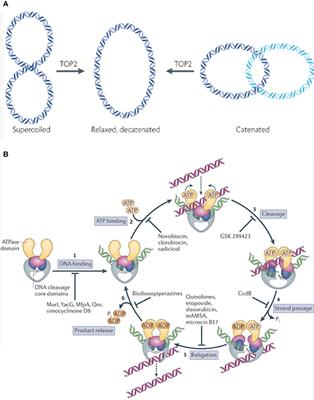 Frontiers | Topoisomerase II Poisons for Glioblastoma