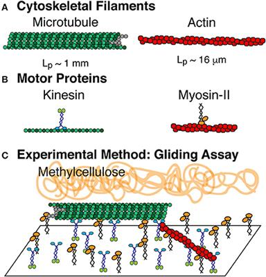 What Does The Microtubules Do