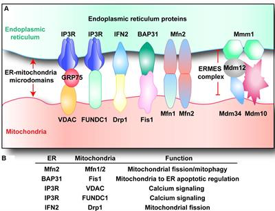 Frontiers Er Mitochondria Microdomains In Cardiac Ischemia