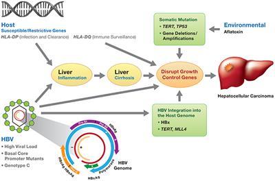 cancer hepatic virus