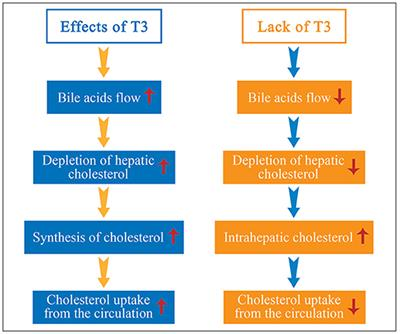 Frontiers A Renewed Focus On The Association Between Thyroid