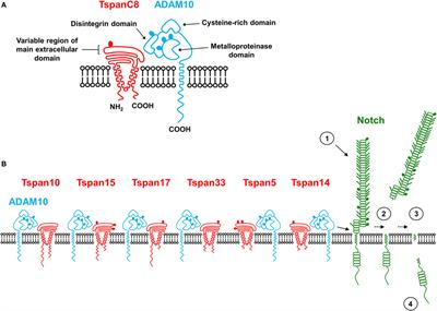 Frontiers | Regulation of Leukocytes by TspanC8 Tetraspanins