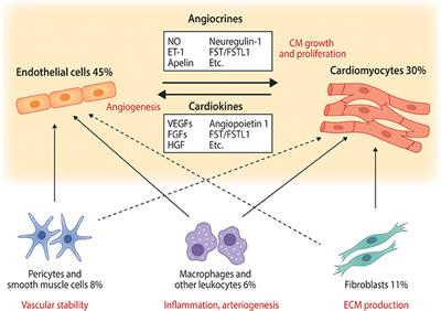 Types Of Email Accounts >> Frontiers | Cardiomyocyte—Endothelial Cell Interactions in ...