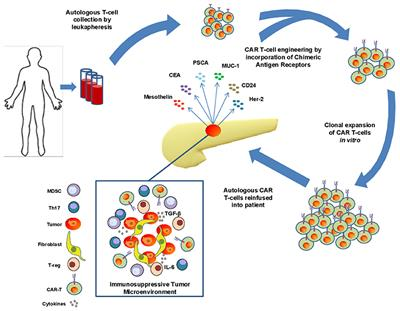 Frontiers The Potential Of Car T Cell Therapy In Pancreatic Cancer Immunology