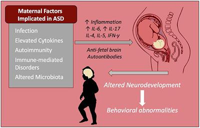Frontiers Immune Dysfunction And Autoimmunity As Pathological Mechanisms In Autism Spectrum Disorders Cellular Neuroscience