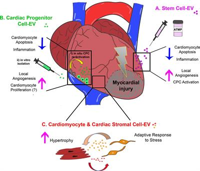 Frontiers | Triggering Endogenous Cardiac Repair and