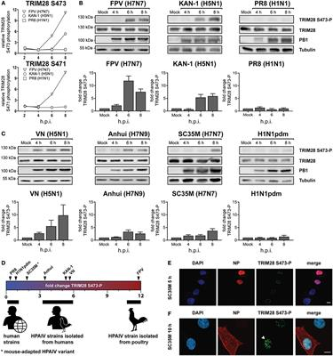 foto de Frontiers | Phosphorylation of TRIM28 Enhances the Expression of ...