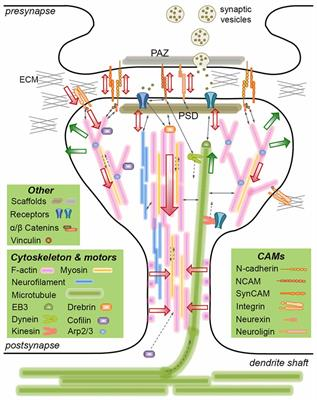 Frontiers | The Emerging Role of Mechanics in Synapse Formation and