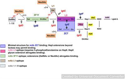 Frontiers   Targeting Lipooligosaccharide (LOS) for a