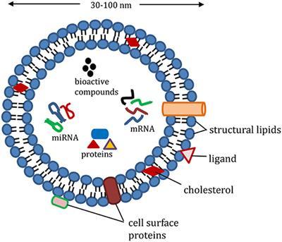 شکل شماتیک اگزوزم، یکی از روشهای دارو رسانی نانو - نانو تکنولوژی - نانو فناوری - داروسازی نوین - شتابدهنده دارویی هنام فارمد - شتابدهنده - هنام