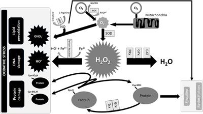 Frontiers | Oxidative Stress and Neonatal Respiratory