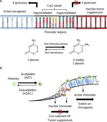 Frontiers Dietary Compounds As Epigenetic Modulating Agents In Cancer Genetics