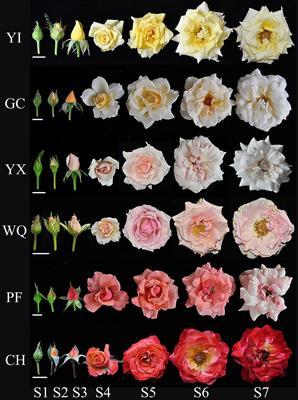 Red Silk Rose Petals ~ 200 Petals by efuture