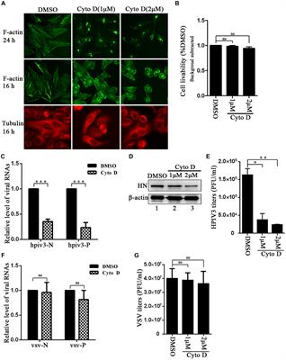 Frontiers Involvement Of Actin Regulating Factor Cofilin