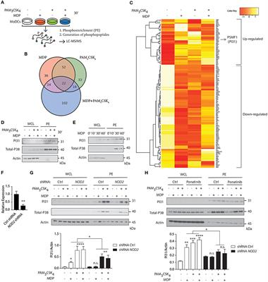 Frontiers | NOD2 and TLR2 Signal via TBK1 and PI31 to Direct Cross