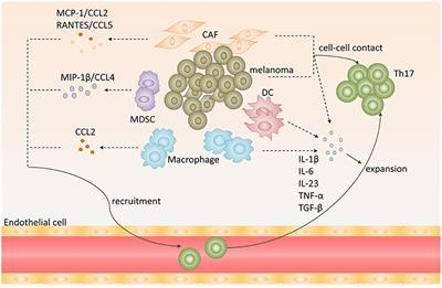 Frontiers | Th17 Cells Paradoxical Roles in Melanoma and