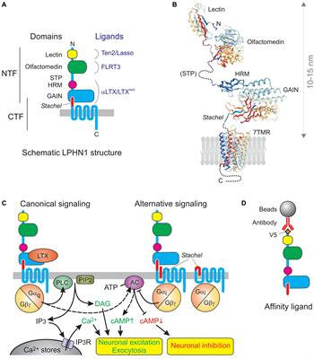 Catching Latrophilin With Lasso: A Universal Mechanism for Axonal Attraction and Synapse Formation