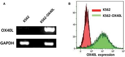 Frontiers | Expansion of Human NK Cells Using K562 Cells