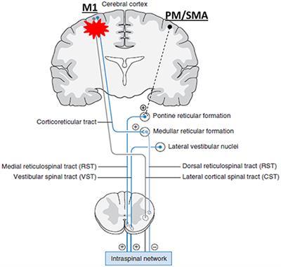 cortexin hipertónia